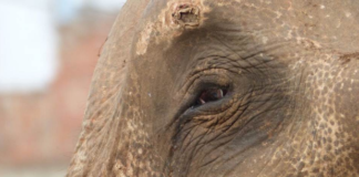 Elephant eye with injury