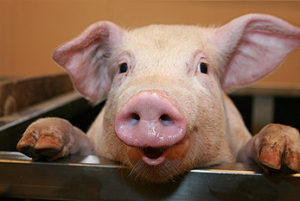 national-pig-day