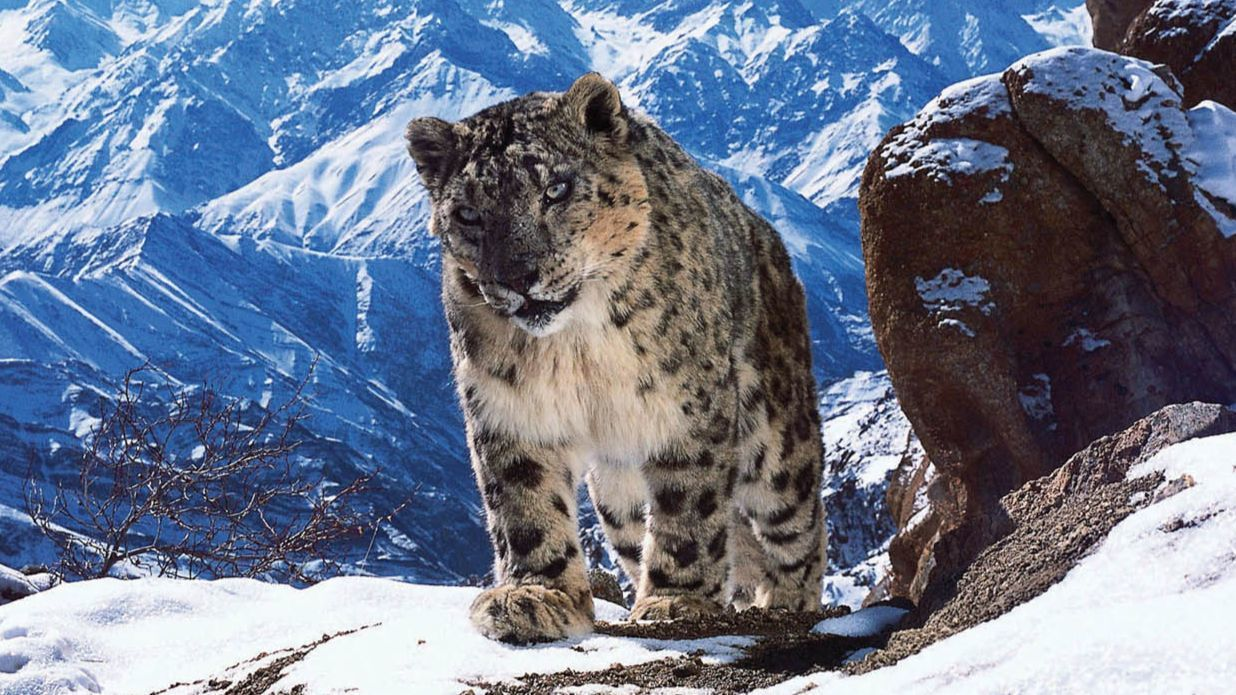 the elusive snow leopard Ever wondered how hard it is to see a wild snow leopard asks photographer inger vandyke one of these rare and elusive cats is lurking somewhere in this photo.