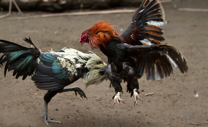 Cock fighting jefferson county