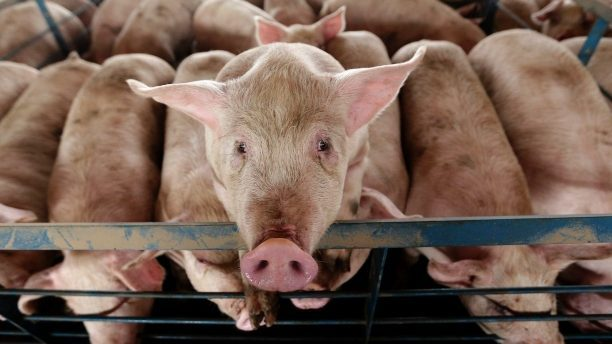 Advocates Fear For Farm Animals After 1265 Pigs Are Sadly ...