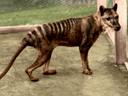 tasmanian tiger declared a protected species 80 years ago went