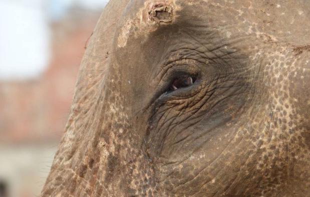 Elephant eye with injury