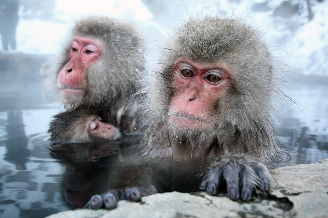 Japanese Zoo Kill 57 Snow Monkeys Carrying A Supposed 'Invasive