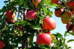 WAN Fruit Tree