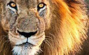 WAN Lion Image