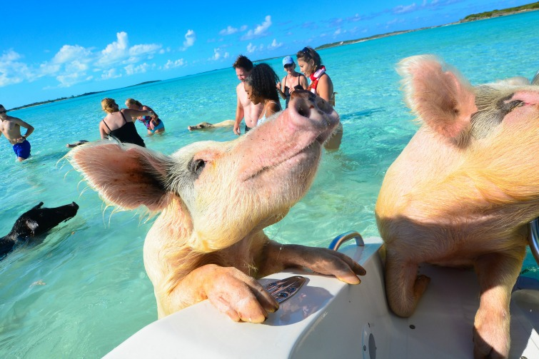669f2e37579 Sadly, this week, more than a half-dozen of The Bahama's famous swimming  pigs have been found dead in Nassau.