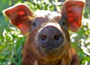 red-wattle-piglets