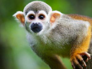Squirrel-Monkey