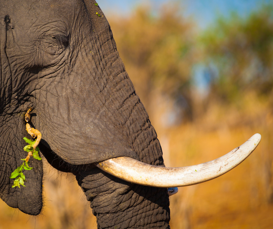 3e256e3d7 ... news for Africa s remaining elephants  with thousands having already  fallen victim to the dirty hands of ivory poachers in search of elephant  tusks ...