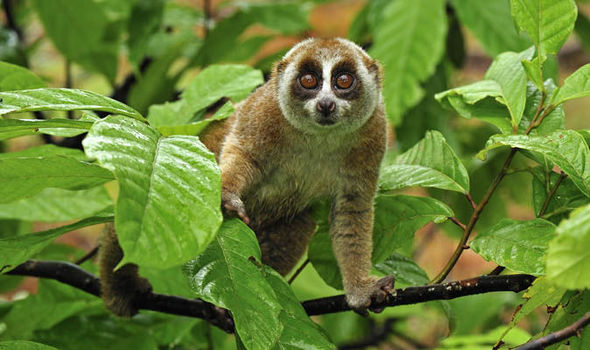 14 Critically Endangered Slow Lorises Rescued From Exotic
