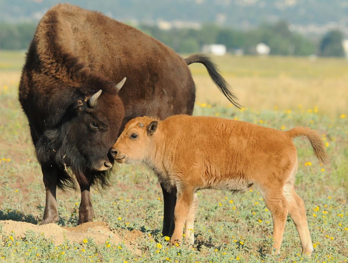 Bison_and_calf U.S. Department Of Interior