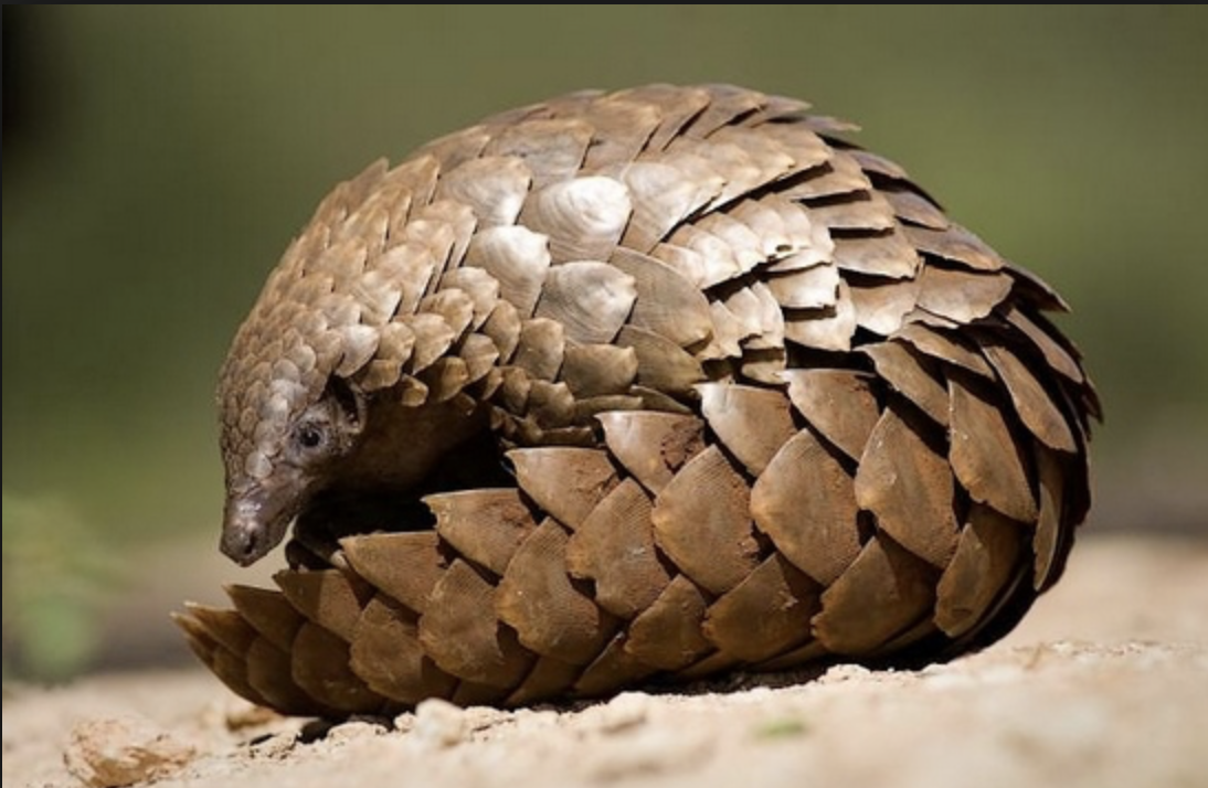 Image result for the sunda pangolin
