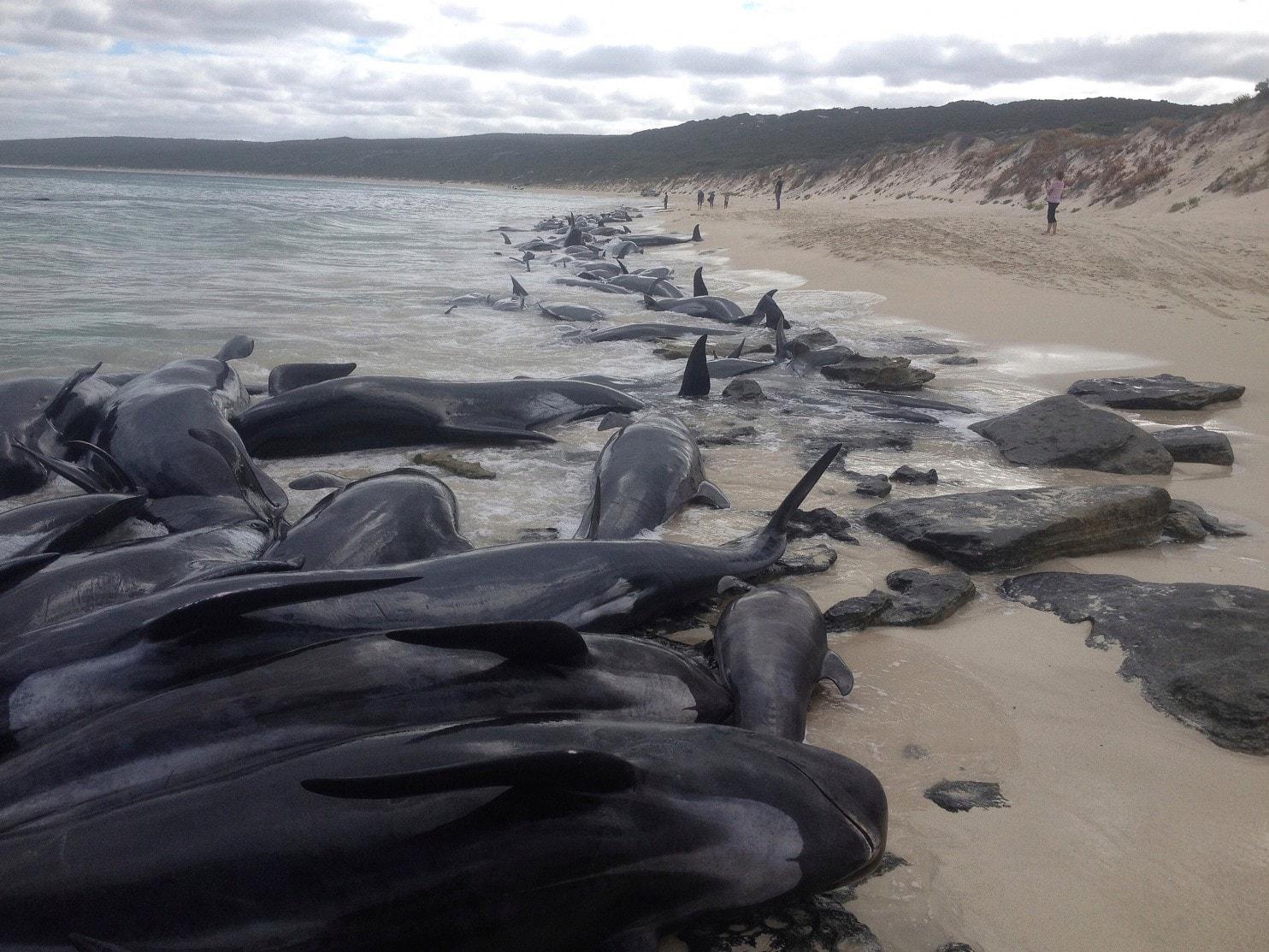 224997c85a4 Breaking News! 150 Whales Wash Ashore On Western Australian Beach  Shark  Warning Issued