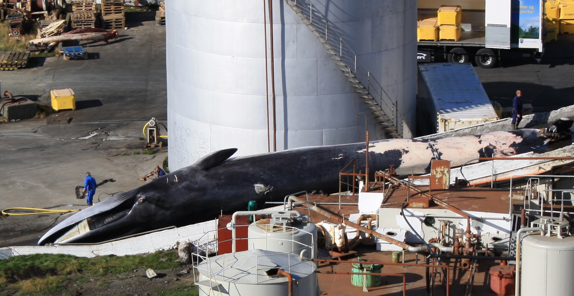 the cruel methods of the whaling Whilst whaling is often described as a 'numbers game', the whaling debate is not just about numbers and conservation, but also about animal suffering the method used to hunt and kill whales is fundamentally and unacceptably cruel.