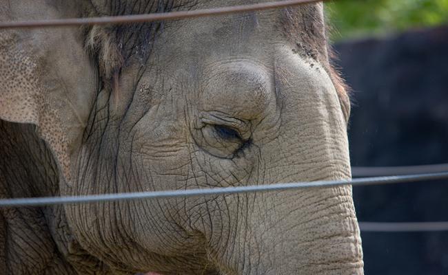 The Death Of Sunda The Elephant At The Topeka Zoo In Kansas