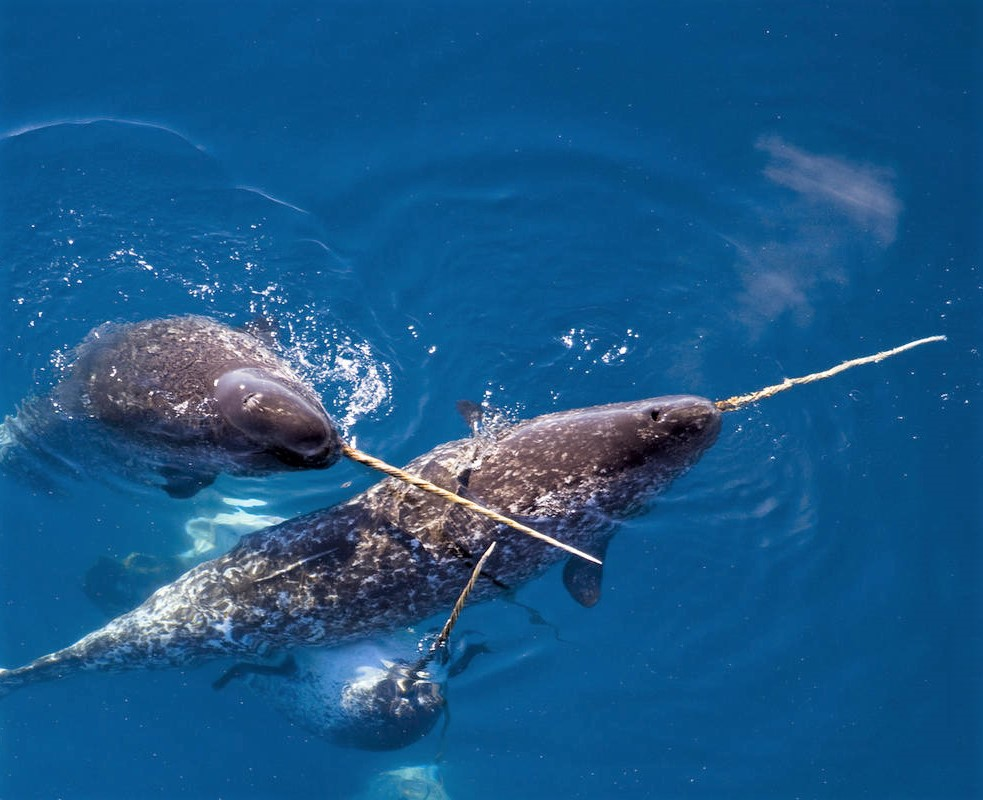 Photos sous marine  Narwhal2