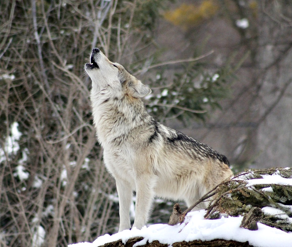 Breaking! Help Save The Life Of A Rare Gray Wolf Being Targeted By The Livestock Industry In Utah To Be Trapped & Killed