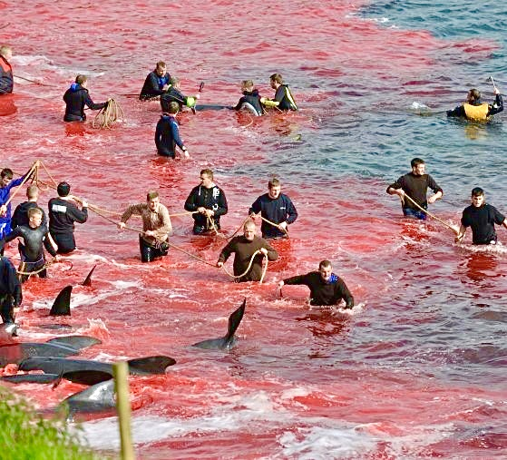 Hundreds Of Whales Brutally Slaughtered In The Faroe Islands During Sickening Whale Hunting Season; This Must End!