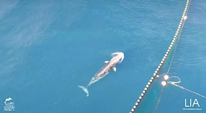 Campaigners condemn killing of minke whale trapped in nets in Japan