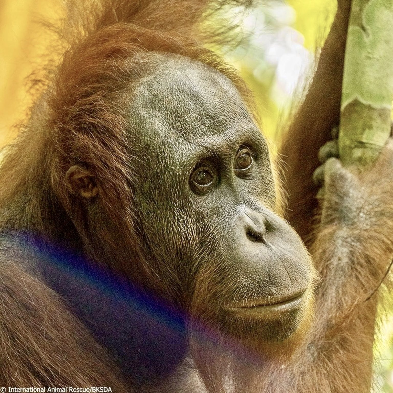 """Five Orangutans Formerly Kept As """"Pets"""" In West Borneo Are ..."""